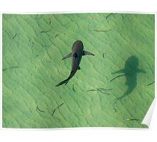 Shark floating Poster