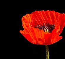 close up orange poppy in the sun by stresskiller