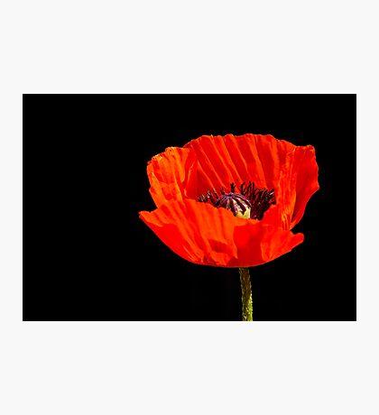 close up orange poppy in the sun Photographic Print