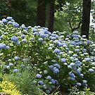 Endless summer hydrangea by KSKphotography