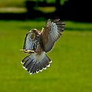 Incoming Hawk by imagetj