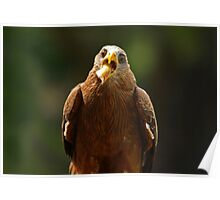 Hawk Eating Chicken Poster