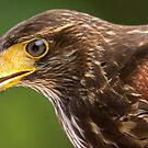 Harris Hawk Up Close by imagetj