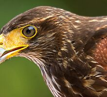 Harris Hawk Up Close by TJ Baccari Photography
