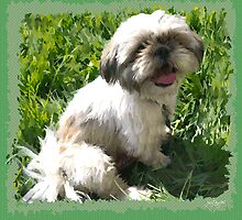 Lexi - Shih Tzu by Jay Taylor