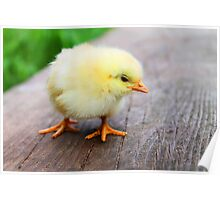 Cute baby chick Poster