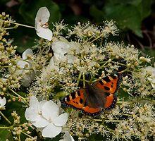 orange butterfly on white hortensia by stresskiller