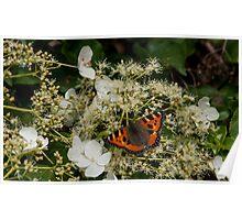 orange butterfly on white hortensia Poster