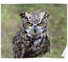 Portrait of a Bengal eagle-owl Poster