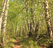 Trail Through Birches by Jim Sauchyn