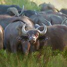 African buffalo. by Lyn Darlington