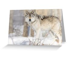 Stare - Timber Wolf Greeting Card