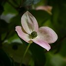Kousa dogwood pink by KSKphotography