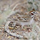 lark sparrow by Dennis Cheeseman
