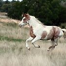 Pinto Pony by Diana-Lee Saville