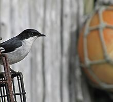 Fiscal flycatcher this - Fishing float - that :) by Lee Jones