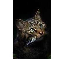 Scottish Wild Cat Photographic Print
