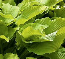 Hosta Leaves by Adam Bykowski
