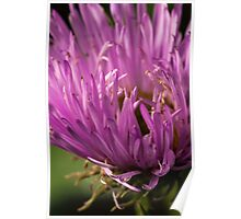 pink aster with a yellow heart Poster