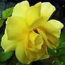 Prim Rose by Lesliebc