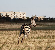 Zebra in the city by valeriedesign