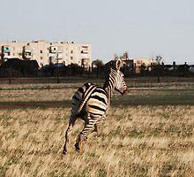 Zebra in the city by valeriedesign