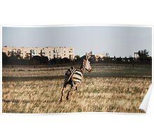 Zebra in the city Poster