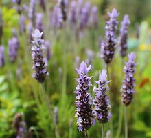 Fragrant Lavender by Susan Moss