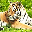 Meeting with a Tiger.  by imagic
