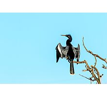 Anhinga at Venice Rookery Photographic Print
