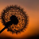 Dandelion Sunset by Martin Griffett