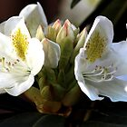 White Rhododendron by nastruck