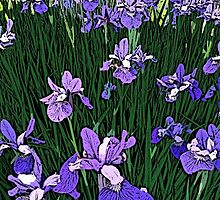 Irises  by Kater