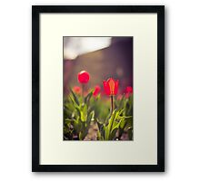 Tulips in May Framed Print