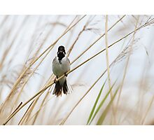 Reed Bunting - Emberiza schoeniclus Photographic Print