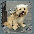 Louie the Shorkie-Tzu : Shih Tzu Yorkshire Terrier (Yorkie) Mix by Jay Taylor