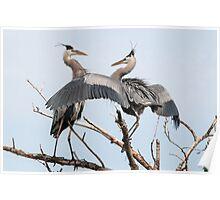 Herons dancing Poster