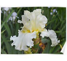 White Ruffled Iris Poster
