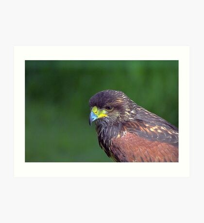 Harris Hawk  Art Print