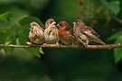FINCH FAMILY by Sandy Stewart