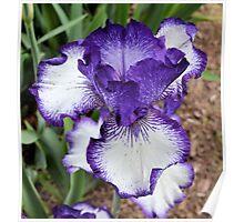 Large Purple and White Iris Poster