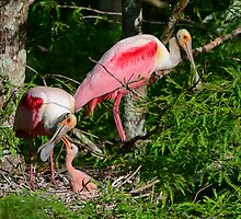 Roseate Spoonbill Family by Bonnie T.  Barry