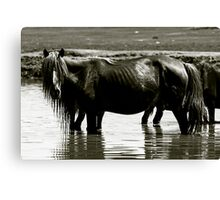 Horse bathing in water, Mongolia Canvas Print