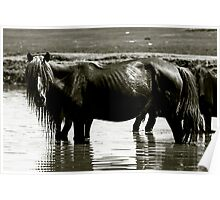 Horse bathing in water, Mongolia Poster
