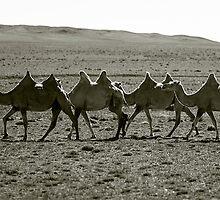 Camels trekking at sunset, Gobi Desert, Mongolia by jennyjones