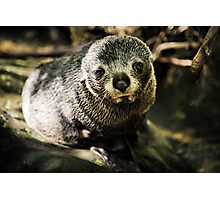 Cute Seal Pup Photographic Print