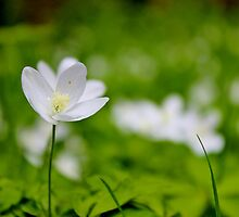 Wood Anemone by Kathleen Daley