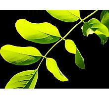 Lime Leaves on Black Photographic Print