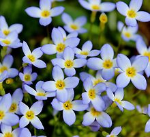 Blue Wildflowers by Kathleen Daley