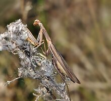 Preying Mantis  by Lynda   McDonald